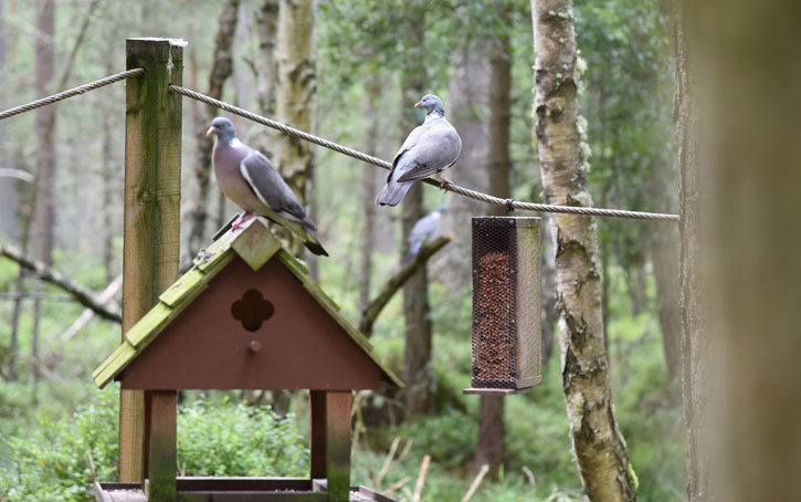 wood pigeons at Carrbridge