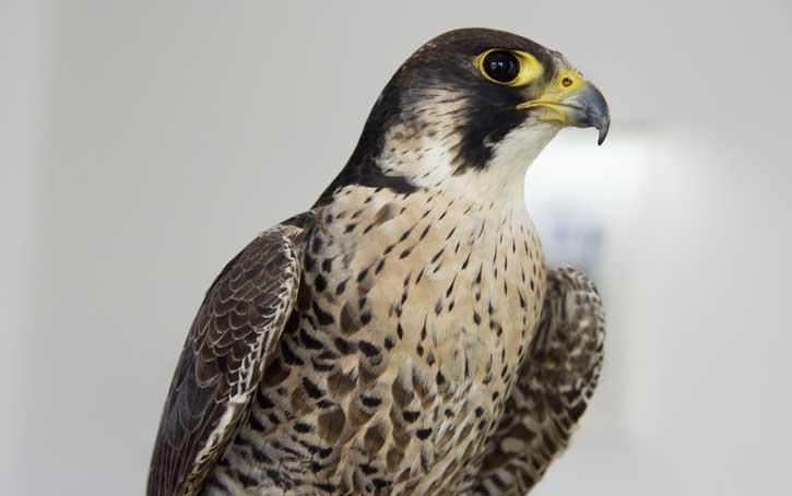 peregrine falcon Aberdeen
